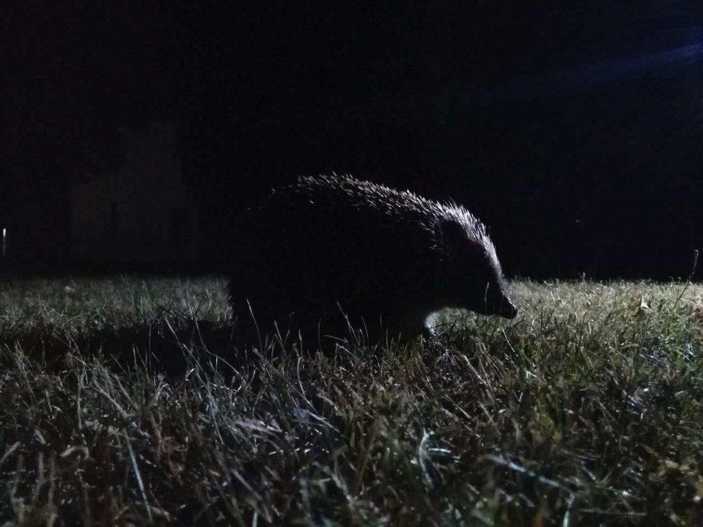Un hérisson dans la nuit, éclairé par une lumière artificielle au loin.