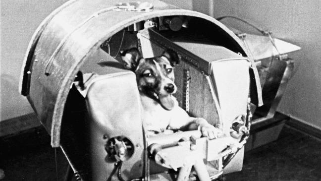 Photo en noir et blanc de la chienne Laïka, premier être vivant à être envoyé dans l'espace.