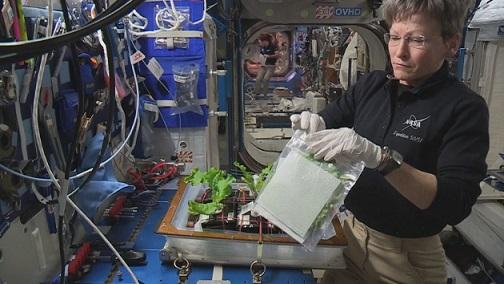 Peggy Whitson récolte son chou chinois à bord de l'ISS. Elle est à droite de l'image, un sac à la main, devant son mini bac potager.